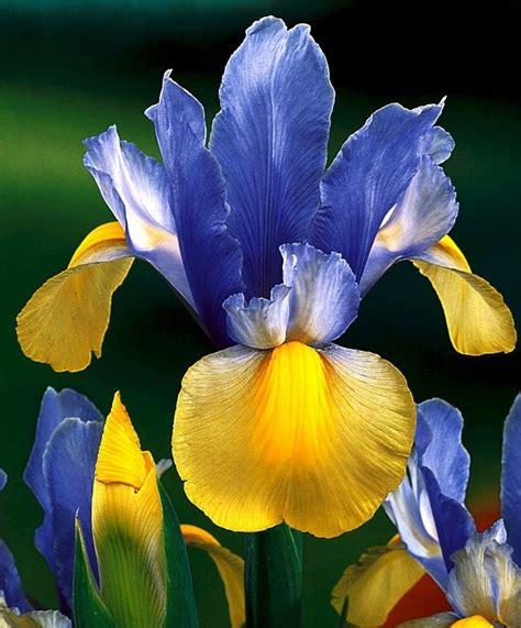 283 Best Iris Images On Pinterest Beautiful Flowers Iris Flower Garden