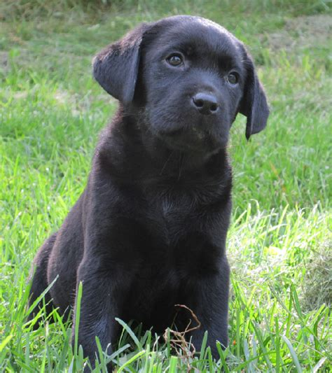 chocolate lab puppies for sale in sc chocolate labrador retriever puppies for sale in ny breeds picture