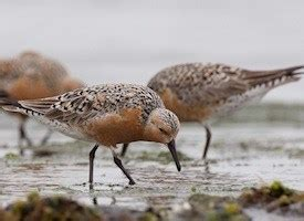 Redknot Nyx 02 Brown Redknot list of endangered species in michigan endangered awareness