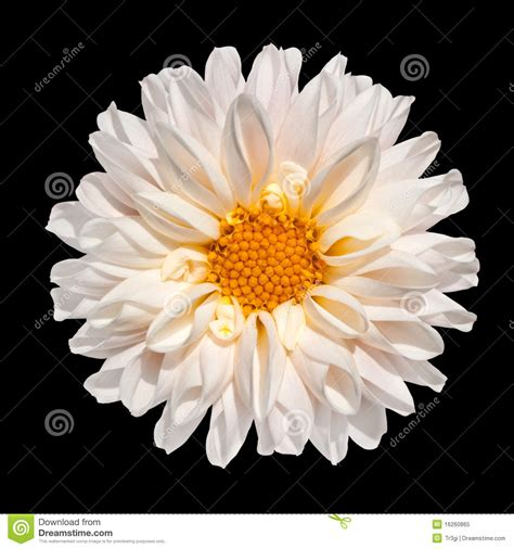 Garbage Collection Kitchener by Dahlia Flower Yellow Petals Isolated 28 Images Dahlia