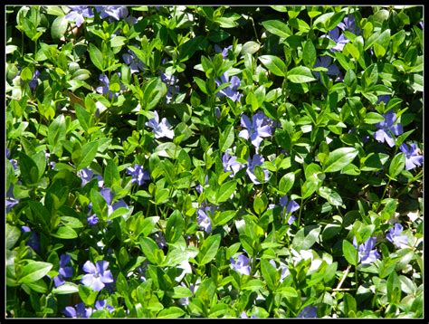 pachysandra periwinkle and flowering crabapple tree