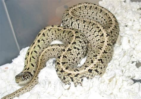 Garter Snake Morphs 52 Best Images About Critters On