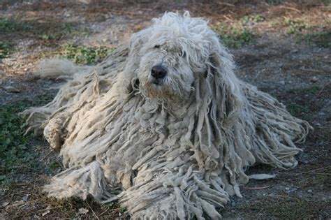 komondor puppy komondor puppy www imgkid the image kid has it