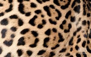 Jaguar Fur Texture Jaguar Fur
