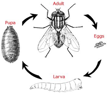 life cycle of a housefly: lesson for kids | study.com