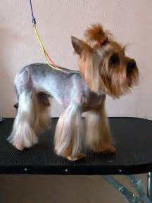 pics of yorkie summer cuts toy yorkie haircuts new style for 2016 2017