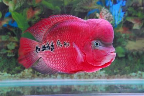 Pakan Ikan Louhan Supaya Merah makanan ikan louhan biar jenong mau tau nama nama hewan