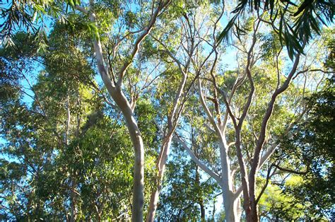 eucalyptus trees snippets from the garden what s up with my slackness