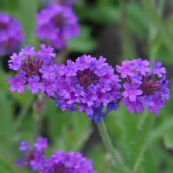 verbena plant care guide and varieties auntie dogma s