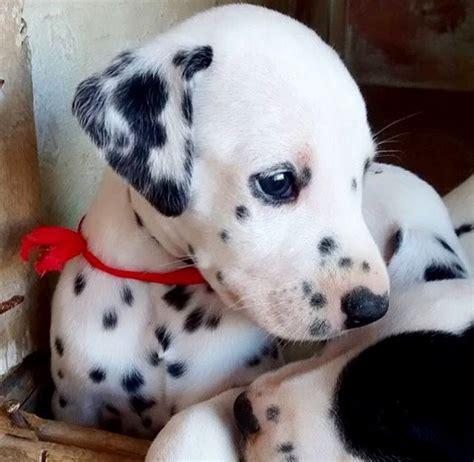 dalmatians puppies 1000 ideas about dalmatian puppies on dalmatians dalmatian dogs and puppies