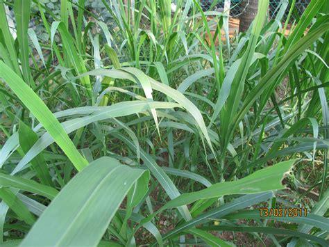 menanam rumput hidroponik napier taiwan