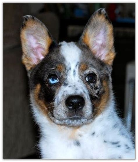 australian shepherd blue heeler mix puppies for sale dogs for sale american saddlebred horses at peavine creek farm
