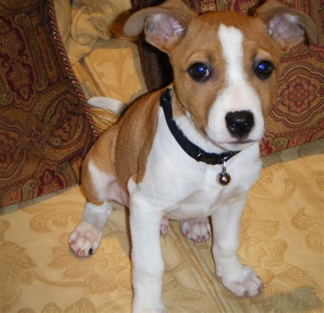 basenji puppy cost basenji puppy in and white png 1 comment hi res 720p hd