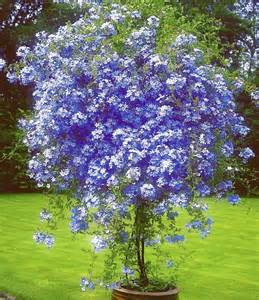 plumbago so pretty cheerful can grow into a large
