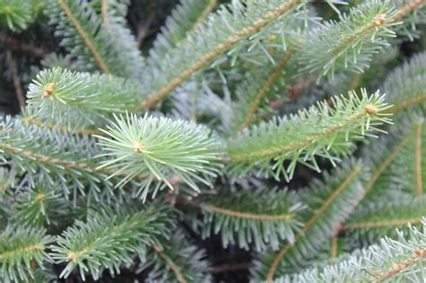 christmas tree care myths