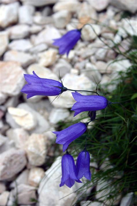 piante e fiori di montagna fiori di montagna foto immagini piante fiori e
