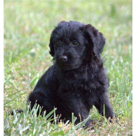black labradoodle puppy 25 best black labradoodle ideas on labradoodle pictures labradoodle
