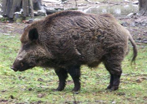 adventure: hunt russian boar
