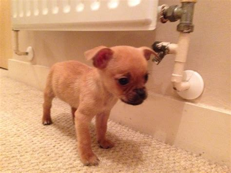 pug cross chihuahua adorable chug pug cross chihuahua boy pup south east pets4homes