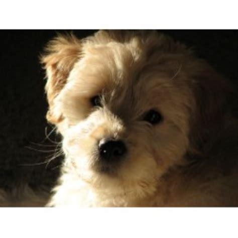 mini goldendoodles illinois mini goldendoodle illinois rescue dogs breeds picture