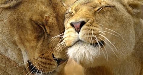 imágenes de leones juntos imagenes de leones imagen leones en pareja