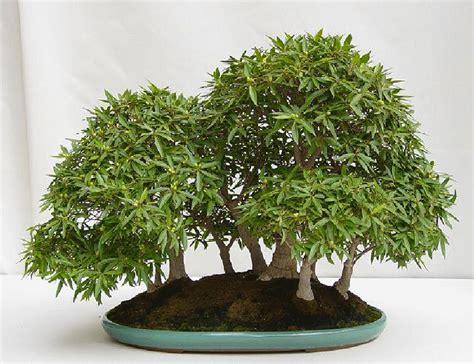vasi bonsai giapponesi bonsai 232 l arte di creare miniature di alberi hobby bonsai
