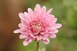 Chrysanthemum by File Chrysanthemum Sp Jpg Wikipedia