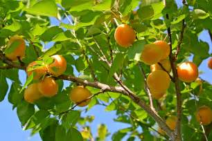 apricot fruit trees 5 outdoor edible fruits around your neighbourhood shoresh