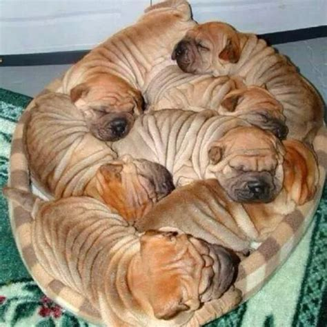 wrinkle dogs a pile of puppy wrinkles dogs cats