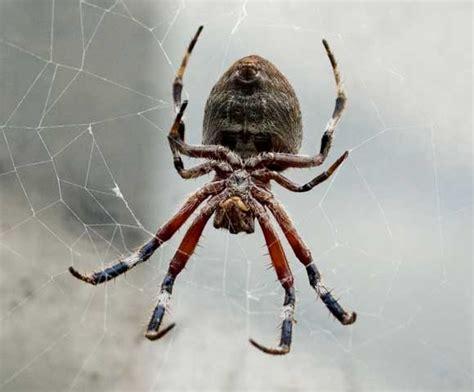 Garden Orb Spider Dangerous Garden Orb Weaving Spiders Spider Chart Venomous Or