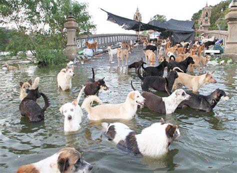 puppies island flooding in bangkok has left thousands of dogs stranded chiang times