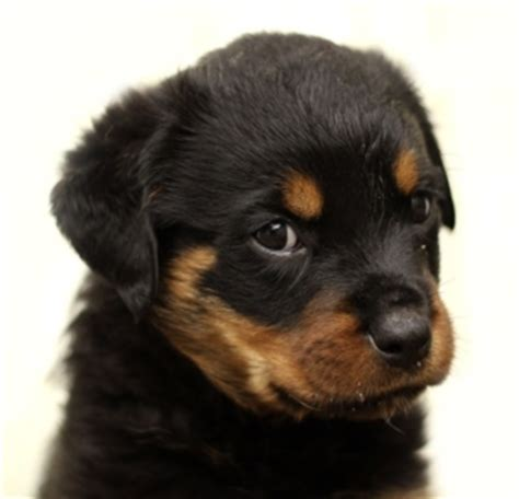 rottweiler growth stages german rottweiler size chart pictures to pin on pinsdaddy