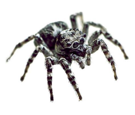 ragni di casa ragni in casa informazioni utili rentokil italia