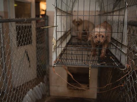 puppy mills in nc 128 animals rescued from suspected puppy mill in carolina officials say abc news