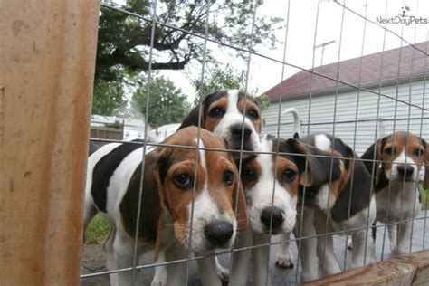 treeing walker coonhound puppies for sale treeing walker coonhound puppy for sale near wichita kansas c20ebee4 a391