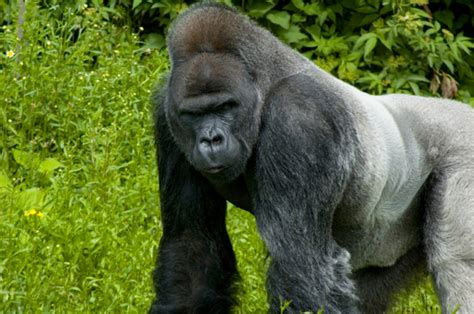 Silverback Gorilla vs. Grizzly Bear - Who would win in a ...