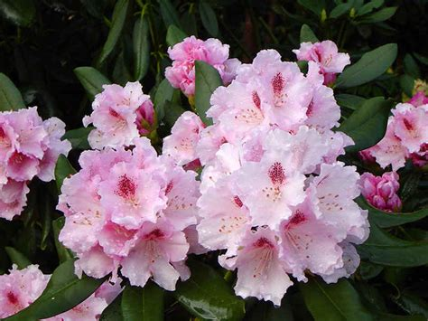 Blakc Reddish Flower S M L 44398 assortment of pink flowering rhododendrons