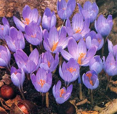 crocus speciosus autumn flowering crocus bulbs