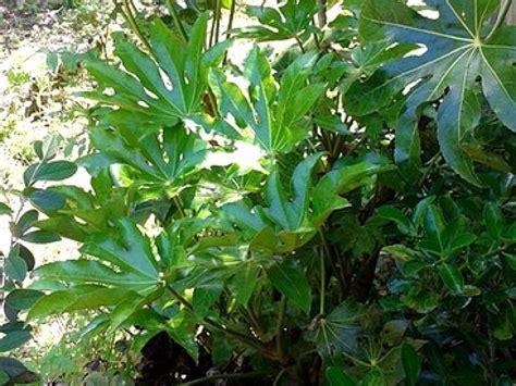 Fatsia Japonica Exterieur by Le Fatsia Japonica Un Arbuste 224 L Exotique