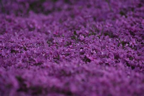 blumen gie 223 en morgens free photo violet flowers flower plant free image on