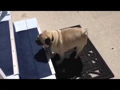 pug running up stairs pug going up the stairs pug
