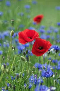 poppy flower colors color of poppy miscellaneous all repinned