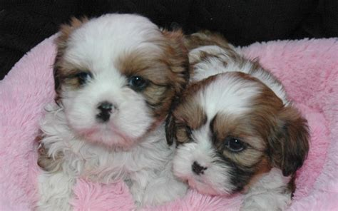 shih tzu x king charles cavalier 62 curated dogs puppys ideas by annabelleww poodles border collies and spaniels