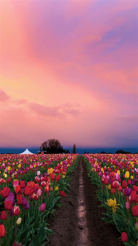sunrise  wooden shoe tulip farm  woodburn oregon