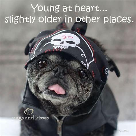 senior pug 2626 best images about pug on pug brindle pug and black pug