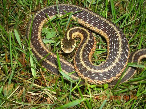 Types Of Garden Snakes by Eastern Garter Snake Project Noah New York Wildlife