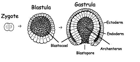blastula diagram gastrulation