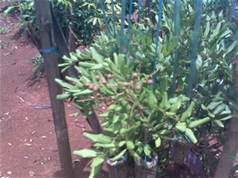 Bibit Kelengkeng Rasa Durian ridfis nursery menjual tanaman buah exotis langka
