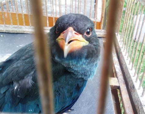 Burung Tengkek Buto sang burung master tengkek buto bebeja