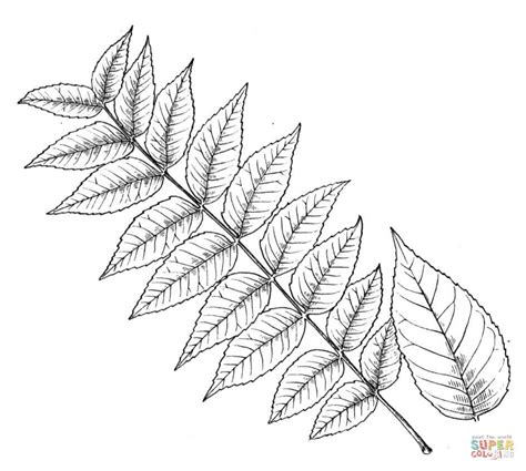 walnut tree coloring page walnut leaflet coloring page free printable coloring pages